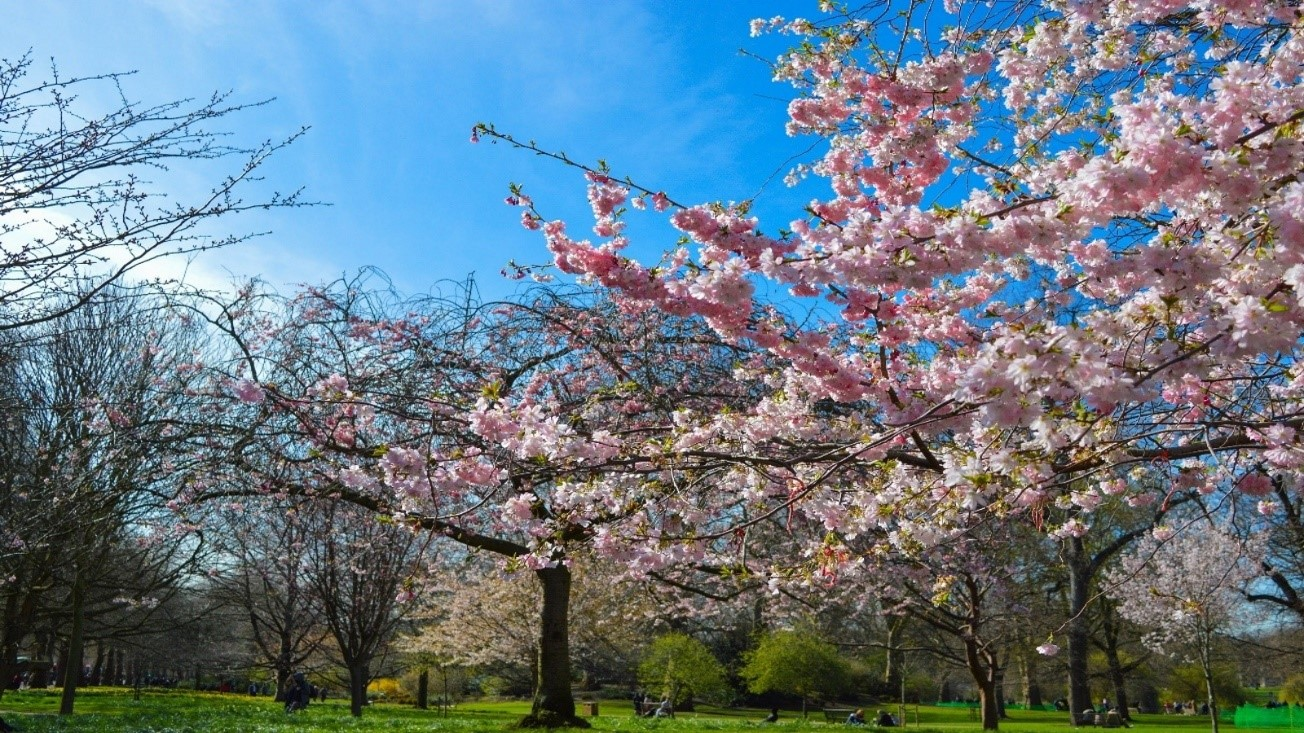 London trees in spring blossom